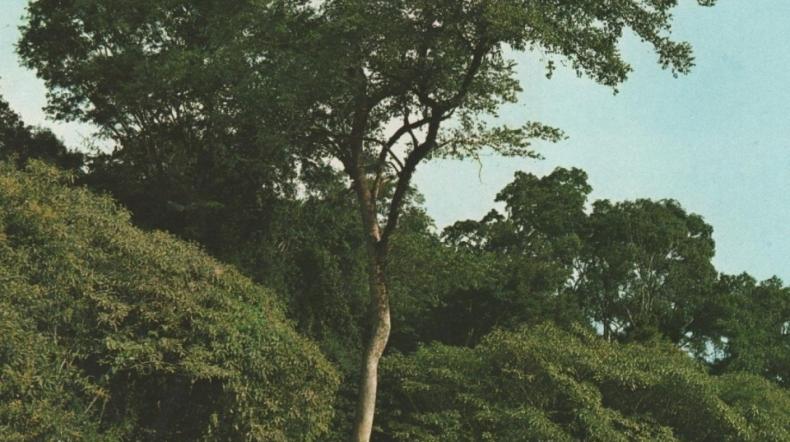 Série Madeiras: Moreira